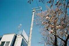 New sakura lives (しまむー) Tags: minolta srt101 mc rokkor 50mm f14 kodak gold 200 桜