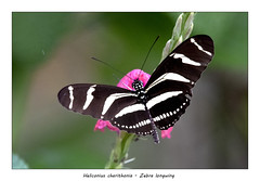 Zebra longwing (Jan H. Boer, Nature photographer) Tags: heliconiuscharithonia zebralongwing butterflies insects nature wildlife macro costarica npcarara nikon d500 afsnikkor200500f56eedvr jan´sphotostream2019
