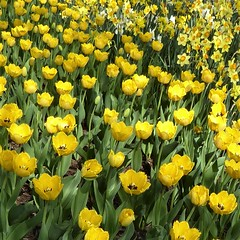 Lombard, IL, Lilacia Park, Spring, Yellow Tulip Flower Bed with Narcissus Flowers (Mary Warren 13.6+ Million Views) Tags: lombardil lilaciapark spring nature flora plants bloom blossom flower garden park yellow tulips