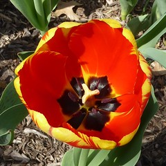 Lombard, IL, Lilacia Park, Spring, Red and Yellow Tulip, Macro (Mary Warren 13.6+ Million Views) Tags: lombardil lilaciapark spring nature flora plants bloom blossom flower red yellow macro tulip park garden