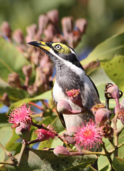 Blue Faced Honeyeater 020 (DMT@YLOR) Tags: bird avian bluefacedhoneyeater flower fauna flora blossom redfloweringgumtree corymbiaficifolia leaf leaves red green black white sky blue buds gumnuts wildlife nature outdoors outside goodna ipswich queensland australia