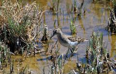 Small Bird Jungle -- Western Sandpiper (Calidris mauri); Belen Wetlands, NM [Lou Feltz] (deserttoad) Tags: bird wildbird wildlife nature newmexico shorebird sandpiper park reflection water