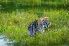Great Blue Heron - I never get tired of these magnificent birds! (Anne McKinnell) Tags: greatblueheron heron campbellriver bird animal wildlife