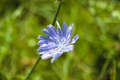 Blue flower (chrisvantoor) Tags: nature summer flower canon eos m5 32mm efm blue green outside