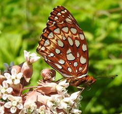 Aphrodite Fritillary on Milkweed (annette.allor) Tags: speyeriaaphrodite butterfly brushfoot ventral milkweed nature wildlife