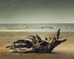 Коряга лежит на берегу в песке, море, пляж, север, остров Ягры, Белое море (Nanaccept) Tags: коряга берег пляж море белое ягры север песок nanaccept cmm