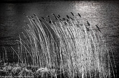 Just blowing in the wind (Pexpix) Tags: loughriggtarn reeds blackandwhite monochrome lakedistrict rushes lph windy 攝影發燒友 lake wind nationalpark water southlakelanddistrict england unitedkingdom