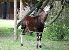 Chester Zoo (wdw1998) Tags: chesterzoo okapi