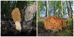 Champignons printaniers  /  Spring mushrooms (Petunia_2011) Tags: morels morilles gyromitres
