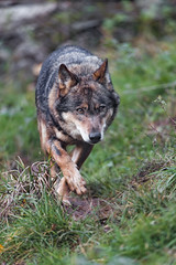 Wolf walking in the grass, again (Tambako the Jaguar) Tags: wolf canid canine dog walking approaching portrait face grass siky park zoo crémines switzerlandn nikon d5