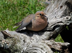~Sunning~ (RitaK.) Tags: dove mourningdove feathers bird birding birdwatching avian nature nikon summer
