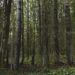 Темный северный лес, архангельская область (Nanaccept) Tags: лес темный зелень природа cmm nanaccept север