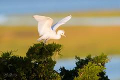 Juvenile Lil' Blue Heron (johnbacaring) Tags: wading wadingbirds shorebirds jerseyshore birding birds bird wildlife nature heron littleblue littleblueheron nj new jersey canon goldenlight