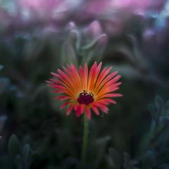 Мезембриантемум (Nanaccept) Tags: мезембриантемум цветок ярко растения оранжевый розовый зеленый фиолетовый желтый красота