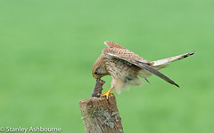 Kestrel with lunch (stanley.ashbourne) Tags: bird kestrel nature stanashbourne wildlife wildlifephotography birdofprey stanashbournephotography lunch post