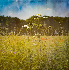 The English countryside in high summer (judy dean) Tags: 365the2019edition 3652019 day184365 03jul19 judydean 2019 countryside england cotswolds farmland wheatfield poppies verge roadside umbelliferae grasses wildflowers texture ps