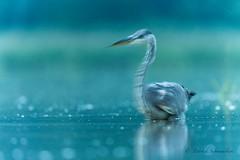 Héron cendré-Ardea cinerea (PatNik01) Tags: heroncendre heron oiseau ardeacinerea dombes france nikon eau affutflottant bokeh nature naturesauvage bird birds wild wildlife
