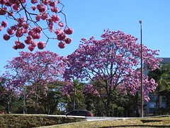 Brasília dos ipês (Alexandre Marino) Tags: ipê ipêroxo árvores trees flowers flores brasilia
