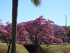 Ipês em Brasília (Alexandre Marino) Tags: ipês brasília árvores trees flowers flores ipêroxo