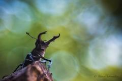 Lucane cerf-volant - Lucanus cervus (PatNik01) Tags: insecte lucanecerfvolant lucanuscervus macro proxy nature trioplan nikon bugey france wild wildlife bokeh flare