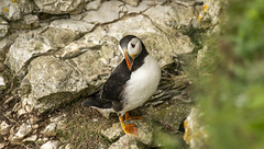 Bempton  cliffs puffin  July 2019 (Philip A Price) Tags: bempton cliffs puffin july 2019 a6300 canon 400mm 28 metabones bridlington