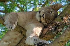 Relax (iamfisheye) Tags: africa june2019 vr queenelizabethnationalpark nikon f4 pf uganda d500 300mm afs gorillaschimpsofugandaphototour dx ishasha adventurevacationsafaris imagesofwildlife