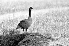 Queen of the Mound. (WilliamND4) Tags: goose geese animal bird blackandwhite monochrome nikond810