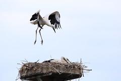 """Naturschutzgebiet """"Versmolder Bruch"""" (ernst.ruhe) Tags: storch weissstorch ciconiaciconia weisstorch nsg nsgversmolderbruch natur naturschutzgebiet"""