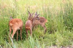 "Naturschutzgebiet ""Versmolder Bruch"" (ernst.ruhe) Tags: reh capreoluscapreolus nsgversmolderbruch natur naturschutzgebiet"