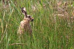 "Naturschutzgebiet ""Versmolder Bruch"" (ernst.ruhe) Tags: hase hasen nsgversmolderbruch nsg natur naturschutzgebiet lepuseuropaeus"