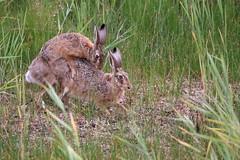 """Naturschutzgebiet """"Versmolder Bruch"""" (ernst.ruhe) Tags: hasen hase lepuseuropaeus feldhase nsg nsgversmolderbruch natur naturschutzgebiet"""