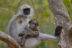 A Very Proud Mother (The Spirit of the World ( On and Off)) Tags: monkey gamedrive gamereserve nationalpark ranthamborepark rajasthan mother motherandbaby india norhernindia portrait wildlifeportrait wildlife nature forest graylangur