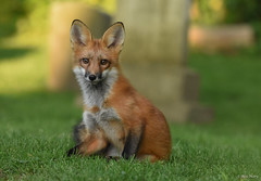 Red Fox Kit (aj4095) Tags: red fox nature wildlife outdoor ontario canada nikon animal