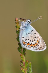 Silver-studded blue (Mike Mckenzie8) Tags: plebejus argus wild wildlife insect heather ant lasius butterfly summer