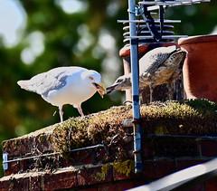 76/365 Dinner Time! (Gingernutty Photography) Tags: seagulls babyseagull feedingtime birds nature chimney chimneypot birdsnest nest 365 365challenge nikon nikonz6 z6 mirrorless 200500mm