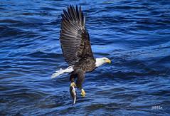 American Bald Eagle (jt893x) Tags: fish bird nikon eagle baldeagle sigma raptor haliaeetusleucocephalus d500 bif americanbaldeagle nikond500 150600mm sigma150600mmf563dgoshsms jt893x thesunshinegroup coth alittlebeauty sunrays5 coth5 ngc