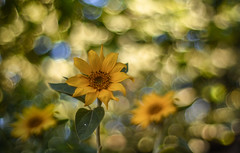 Sunflower 🌻  🌞 (Torok_Bea) Tags: sunflower sun summer wonderful wild amazing flowers flower carlzeiss carlzeissplanar awesome nikon natur nature nikond7200 bokeh beautiful lovely