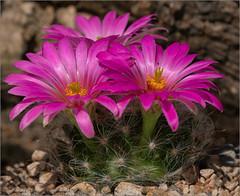 Mammillaria guelzowina (ludwigrudolf232) Tags: kaktus büte mammillaria