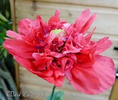 Frilly Poppy (David Warrell) Tags: nokia31 inthegarden closeup frillypoppy pinkpoppy flowers wildflower gardenflower florafauna northamptonshireuk