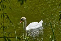 IMG_5957 (gidlark) Tags: water green flora plant bird swan white дендропарктростянець