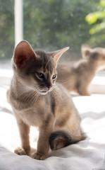 Waking Up in the Window 4 (peter_hasselbom) Tags: cat cats kitten kittens abyssinian blue 7weeksold wakingup window windowsill sun naturallight hardlight 2cats 2kittens twocats twokittens