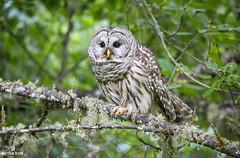 Ready For Liftoff (matthewolsonphotography.com) Tags: barredowl owl owls strixvaria bird birdwatching birds birding wildlife birdofprey