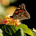 Papallona-Mariposa