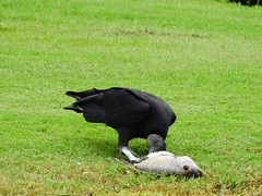 Black Vulture (Jim Mullhaupt) Tags: blackvulture vulture buzzard bird scavenger wildlife nature landscape background wallpaper outdoor bradenton florida manateecounty nikon coolpix p900 jimmullhaupt photo flickr geographic picture pictures camera snapshot photography nikoncoolpixp900 nikonp900 coolpixp900