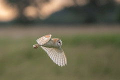 Barn Owl (Gareth Keevil) Tags: barnowl bird birds blacktoftsands focused garethkeevil humber humberhead nikon nikon500mm nikond500 owl rspb reedbed sunshine telephoto trentfalls uk yorkshire