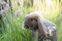 Plume (NأT) Tags: nature animal lapin lapine cute rabbit portrait fleur fleurs flower flowers sony alpha7iii ilce7m3 alpha7 a7iii colors summer lavande lavander green grass bunny bunnies baby babies