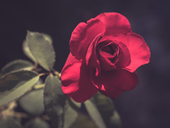 R O S E (holgerreinert) Tags: 2019 juni rose sigma60 rot