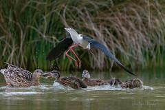 La guerre est ouverte ... (denis.loyaux) Tags: france oiseaux ariège midipyrenees mazères nikond850 domainedesoiseaux denisloyaux nikon 600 f4 afs