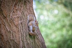 Squirrel Siding Lane Nature Reserve (Steve Samosa Photography) Tags: sthelens england unitedkingdom squirrel greysquirrel sidingslane naturereserve