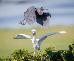 Little Blue Heron and chick (tresed47) Tags: 2019 201906jun 20190627njoceancitybirds birds canon7dmkii content flightshot folder general heron june littleblueheron newjersey oceancity peterscamera petersphotos places season spring takenby us